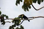 Chestnut-mandibled Toucan (Ramphastos swainsonii) [costa_rica_osa_0816]