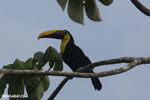 Chestnut-mandibled Toucan (Ramphastos swainsonii) [costa_rica_osa_0821]
