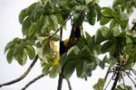 Chestnut-mandibled Toucan (Ramphastos swainsonii) [costa_rica_osa_0827]