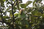 Parrot [costa_rica_osa_0830]