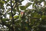 Parrot [costa_rica_osa_0831]
