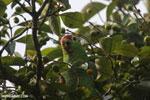 Parrot [costa_rica_osa_0837]
