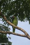 Parrot [costa_rica_osa_0838]