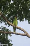 Parrot [costa_rica_osa_0843]
