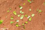 Leaf-cutter ants [costa_rica_osa_0871]