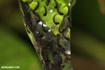 Frog eggs [costa_rica_osa_0886]