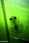 Glass frog [costa_rica_osa_0922]