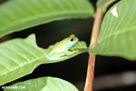Glass frog [costa_rica_osa_0961]