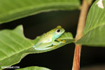 Glass frog [costa_rica_osa_0962]