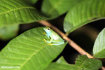 Glass frog [costa_rica_osa_0967]