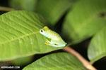 Glass frog [costa_rica_osa_0968]