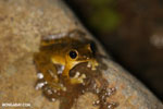 Frog [costa_rica_osa_0973]