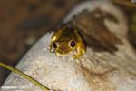 Frog [costa_rica_osa_0974]