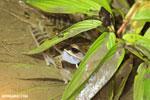 Masked frog (Litoria personata)