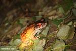 Smokey Jungle Frog [costa_rica_osa_0991]