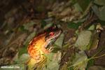 Smokey Jungle Frog [costa_rica_osa_0992]