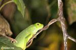 Young green iguana [costa_rica_osa_0997]