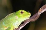 Young green iguana [costa_rica_osa_0999]