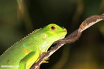 Young green iguana [costa_rica_osa_1001]