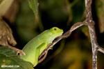 Young green iguana [costa_rica_osa_1004]