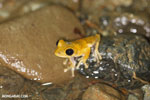Frog [costa_rica_osa_1013]