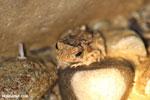 Frog [costa_rica_osa_1014]