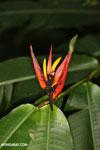 Heliconia [costa_rica_siquirres_0001]