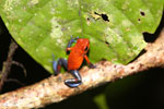 Strawberry poison-dart frog (Oophaga pumilio) [costa_rica_siquirres_0005]