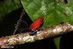 Strawberry poison-dart frog (Oophaga pumilio) [costa_rica_siquirres_0006]