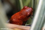 Strawberry poison-dart frog (Oophaga pumilio) [costa_rica_siquirres_0008]