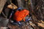 Strawberry poison-dart frog (Oophaga pumilio) [costa_rica_siquirres_0011]