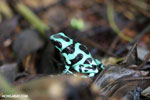 Green-and-black poison dart frog [costa_rica_siquirres_0015]