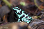 Green-and-black poison dart frog [costa_rica_siquirres_0016]
