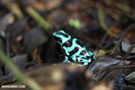 Green-and-black poison dart frog [costa_rica_siquirres_0018]
