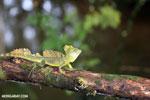 Green basilisk [costa_rica_siquirres_0026]