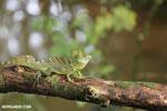 Green Jesus Christ lizard [costa_rica_siquirres_0029]