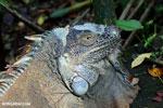Adult green iguana [costa_rica_siquirres_0033]