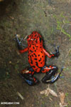 Strawberry poison-dart frog (Oophaga pumilio) [costa_rica_siquirres_0037]