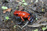 Strawberry poison-dart frog (Oophaga pumilio) [costa_rica_siquirres_0040]