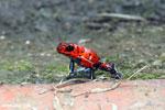 Strawberry poison-dart frog (Oophaga pumilio) [costa_rica_siquirres_0046]