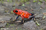 Strawberry poison-dart frog (Oophaga pumilio) [costa_rica_siquirres_0047]