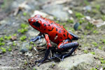 Strawberry poison-dart frog (Oophaga pumilio) [costa_rica_siquirres_0048]