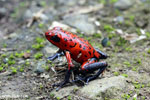 Strawberry poison-dart frog (Oophaga pumilio) [costa_rica_siquirres_0050]