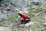 Strawberry poison-dart frog (Oophaga pumilio) [costa_rica_siquirres_0051]