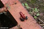 Strawberry poison-dart frog (Oophaga pumilio) [costa_rica_siquirres_0054]