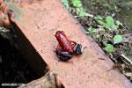 Strawberry poison-dart frog (Oophaga pumilio) [costa_rica_siquirres_0061]