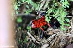 Strawberry poison-dart frog (Oophaga pumilio) [costa_rica_siquirres_0063]