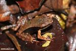 Warszewitsch's frog (Rana warszewitschii) [costa_rica_siquirres_0077]