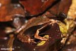 Rana warszewitschii frog [costa_rica_siquirres_0080]