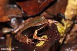 Rana warszewitschii frog [costa_rica_siquirres_0082]
